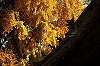 金黄色银杏树前的古建筑屋檐立兽