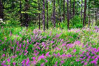 柳兰花开的树林