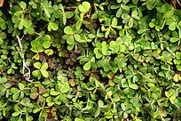绿色三叶草