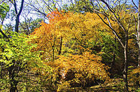 千山枫树两片枫叶