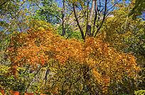 千山枫树一片枫叶