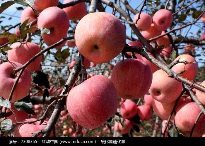 原创摄影图 动物植物 农作物 生态苹果
