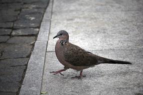 行走的鸽子