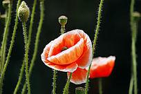 白边罂粟花