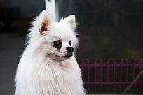 白色的博美犬