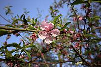粉嫩的桃花