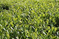 海南白沙茶场的绿茶图片