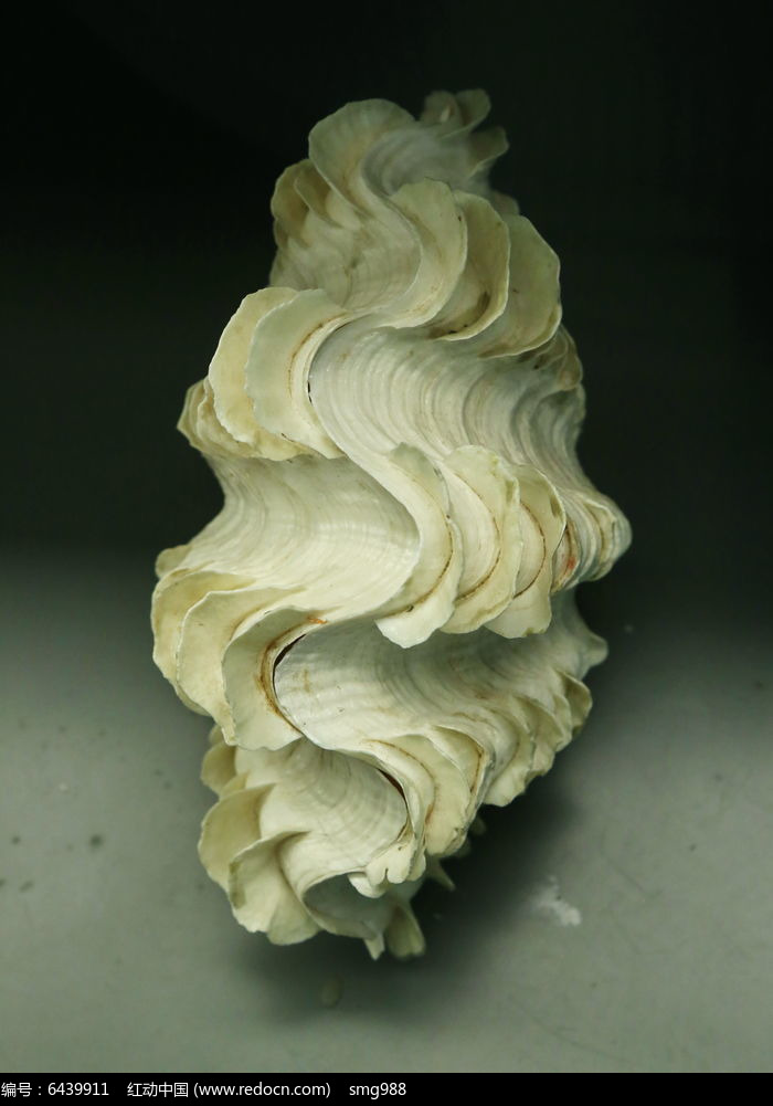 原创摄影图 动物植物 水中动物 海洋生物贝类鳞砗磲的标本