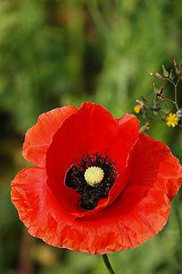 红色鬼罂粟花