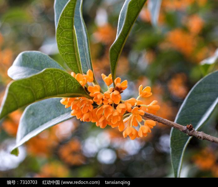 原创摄影图 动物植物 花卉花草 金桂花树枝  请您分享: 红动网提供
