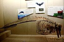 宽吻海豚骨骼