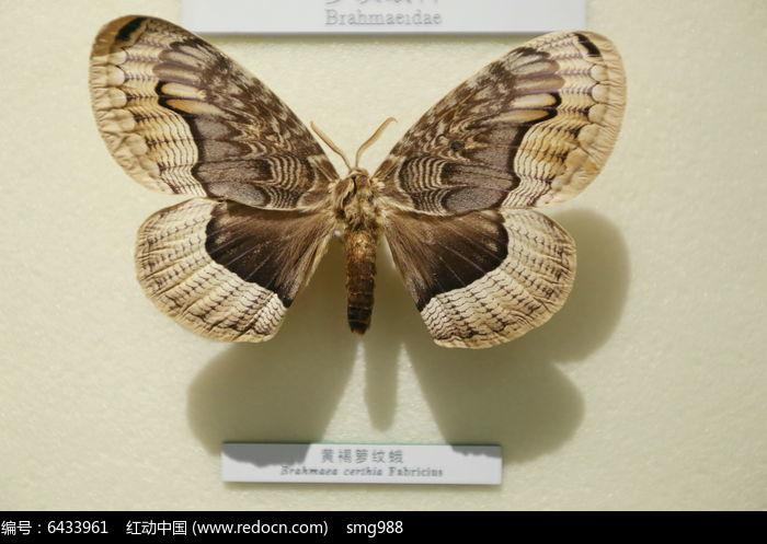 原创摄影图 动物植物 昆虫世界 昆虫蛾类黄褐箩纹蛾标本  请您分享