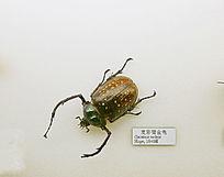 昆虫甲虫麦彩臂金龟子标本
