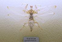 昆虫拟皇冠花螳标本