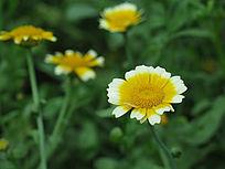 美丽的茼蒿菊