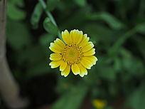 一朵茼蒿菊花朵