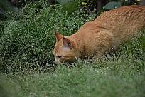 一只在觅食的猫