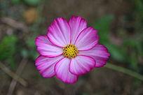 粉红色小野花