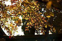 逆光拍摄秋天的树叶