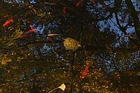 水池内的乌龟金鱼