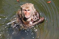 在水里等待喂食的母子猕猴