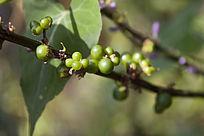枝干上的绿色果实