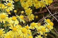 采蜂蜜的蜜蜂