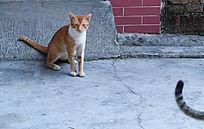 健壮的黄毛雄猫
