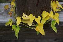 枯黄的叶子