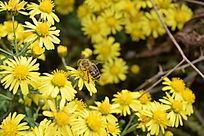 蜜蜂的特写
