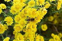 野花上的蜜蜂