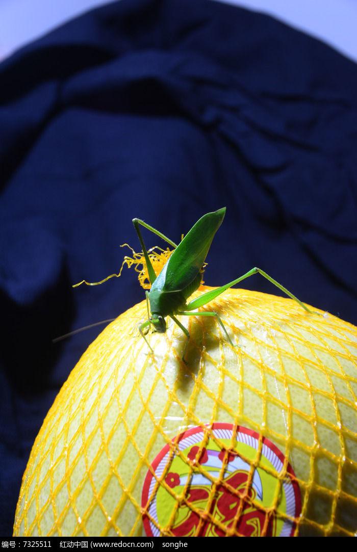 原创摄影图 动物植物 昆虫世界 柚子上的蚰子