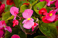 粉嫩的秋海棠