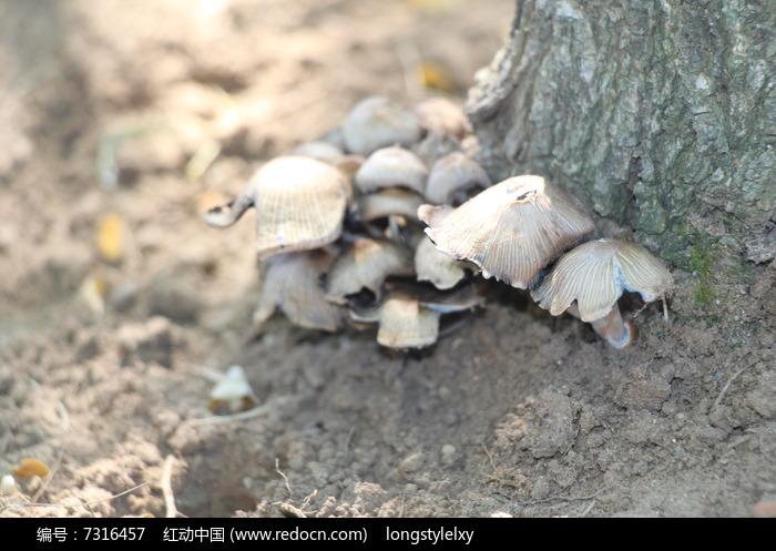 树根上的蘑菇高清图片下载 红动网