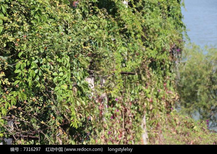 原创摄影图 动物植物 树木枝叶 悬崖上的爬山虎