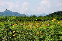 远山前的黄花