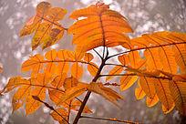 金黄色的桐树叶