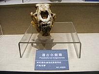 通古尔假猫化石标本