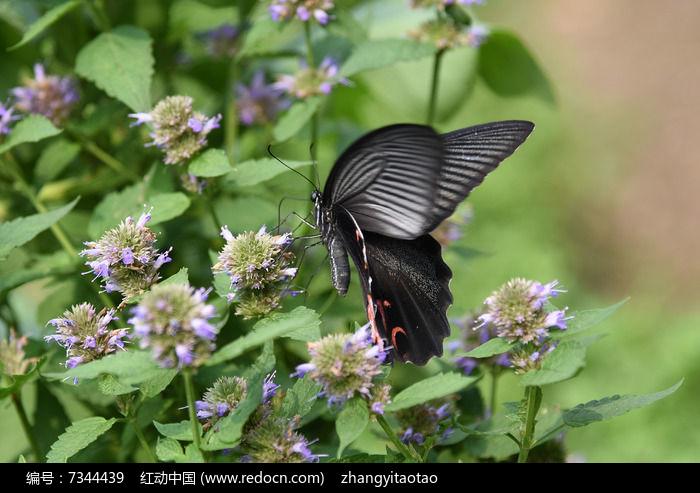 原创摄影图 动物植物 昆虫世界 凤尾蝶