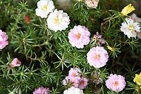 粉红太阳花