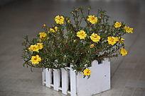 一盆黄色太阳花