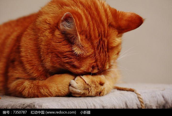 一只捂住眼睛的小黄猫图片,高清大图_陆地动物素材