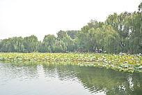 圆明园园林垂柳荷花荷叶