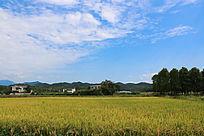 稻谷成熟了