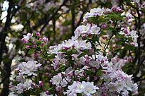 海棠花开放