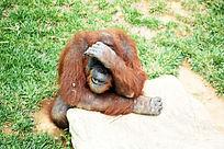 害羞的大猩猩