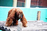 爬行的长毛猩猩