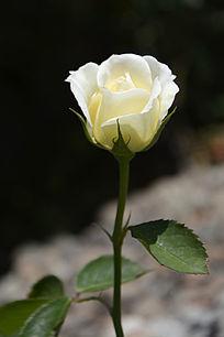 一枝白玫瑰