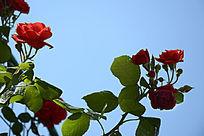 枝头红月季