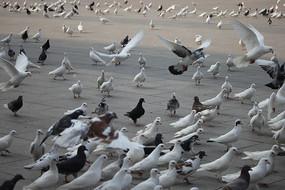 成群的鸽子